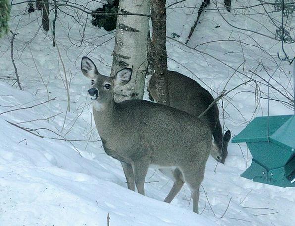 Deer Physical Wild Rough Animal Winter Season Face