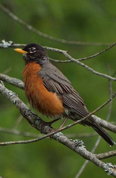 Robin Natures Bird Fowl Birds North Northern Ameri