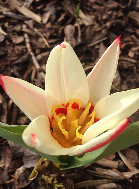 Tulip Spring Coil Early Bloomer Flower Floret