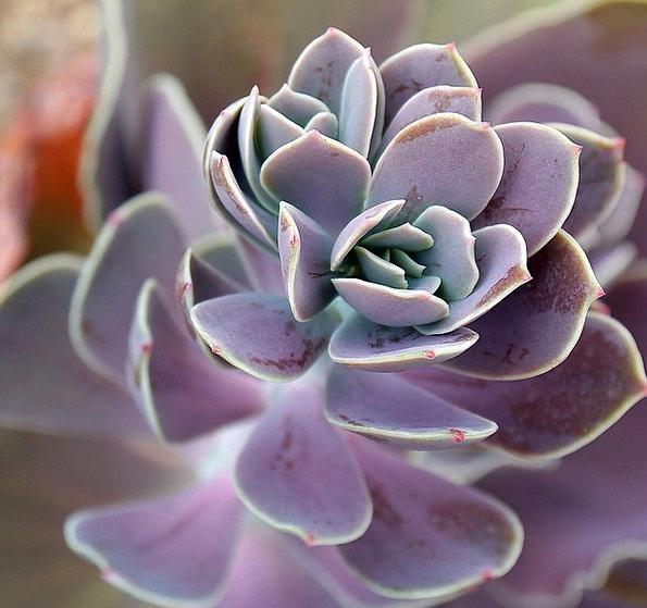 Succulent Juicy Landscapes Flowery Nature Plant Ve