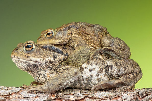Piggyback Allied Traffic Transportation Frog Toad