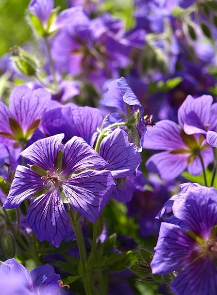 Cranesbill Landscapes Nature Blue Azure Perennials