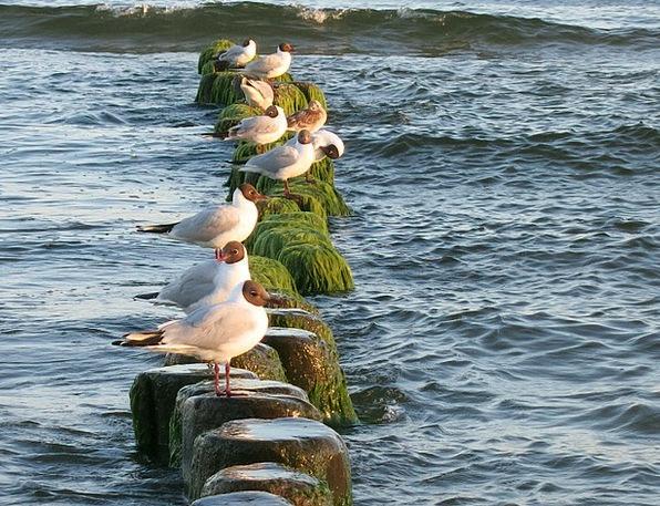 Seagull Usedom Baltic Sea Sea Marine
