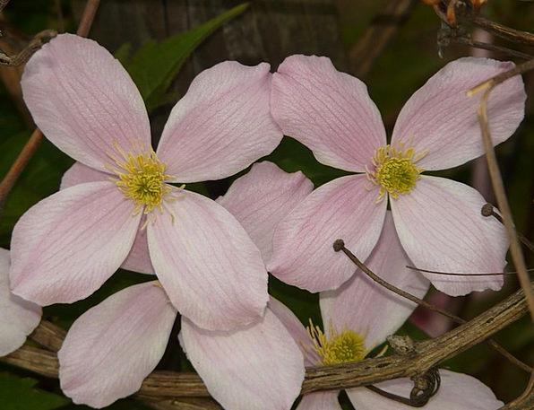 Clematis Landscapes Vegetable Nature Flower Floret