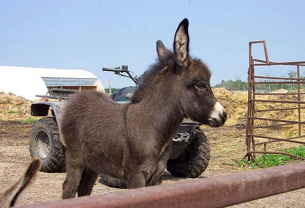Donkey New Brown Chocolate Young Livestock Cute At