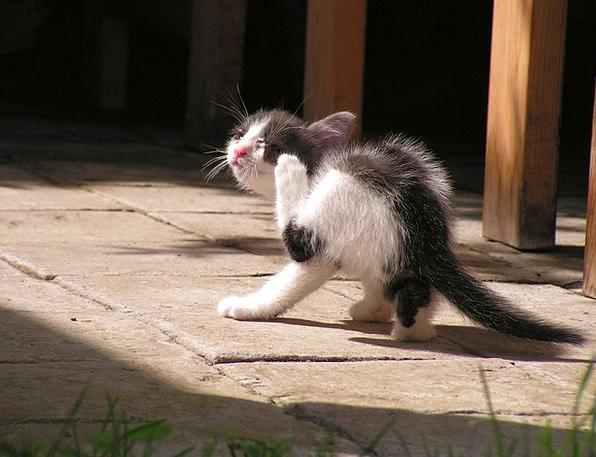 Kitten Rub Scrub Black And White
