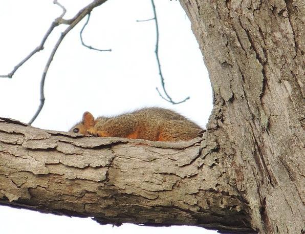Squirrel Collector Sapling Heber Tree Species Spri