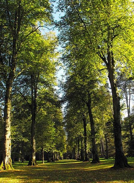 Trees Plants Lime Emerald American Lime Tree Line