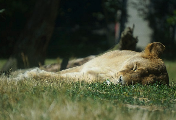 Lioness Zoo Menagerie Lion Animal Physical Sleep G