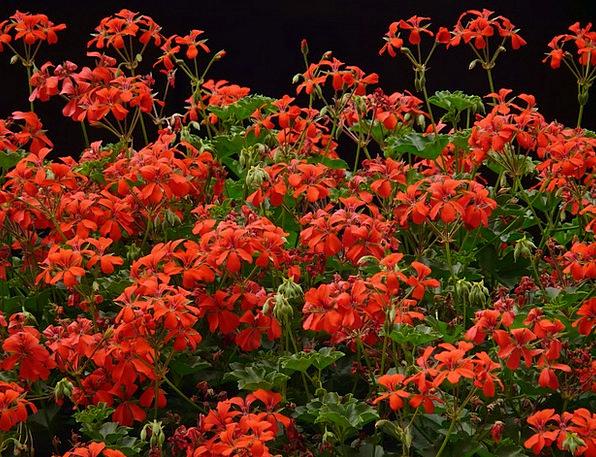 Geranium Bloodshot Flora Vegetation Red Slope Gera
