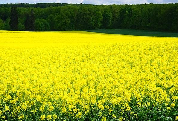 Oilseed Rape Landscapes Nature Blütenmeer Field Of