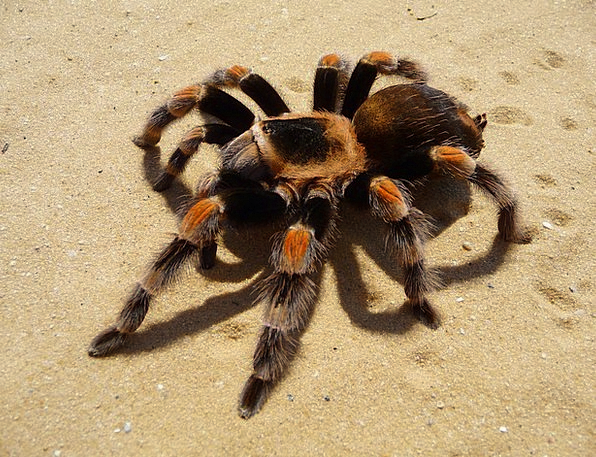 Tarantula Mexican Spider Red-Knee Arachnid Hairy L