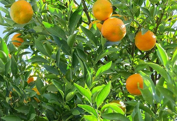 Tangerine Landscapes Nature Tree Sapling Citric Na