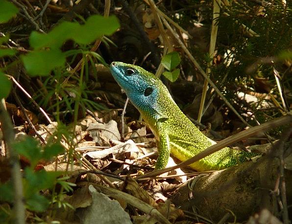 Emerald Lizard Reptile Lizard Animal Physical Euro