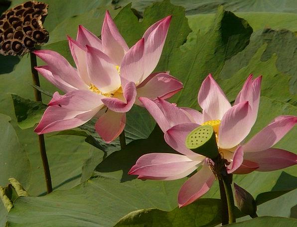 Lotus Flower Floret Lotus Blossom Seeds Was Seeds