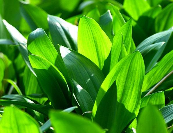 Bear'S Garlic Landscapes Nature Garlic Spinach All