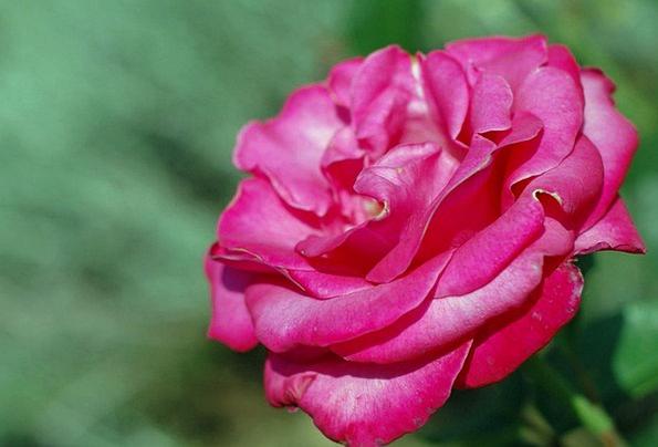 Rose Design Landscapes Flushed Nature Single Solit