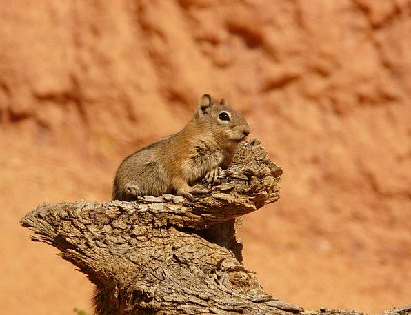 Golden Mantled Ground Squirrel Croissant Spermophi