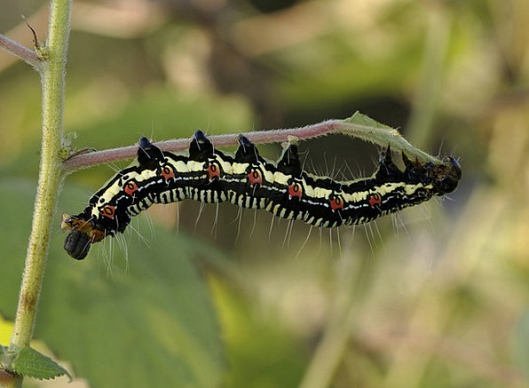 Arcte Coerula Grub Caterpillar Worm Larva Twig Ins