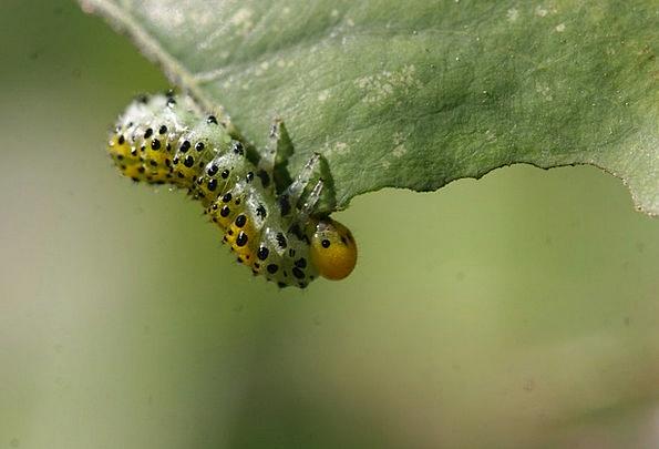 Caterpillar Worm Macro Instruction Insect Leaf Fol