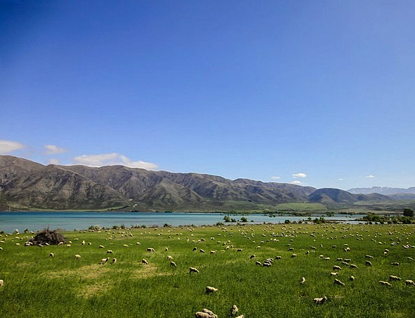 New Zealand Landscapes Nature Cattle Cows Pasture