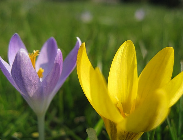 Crocuses Spring Coil Crocus Yellow Creamy Flower V