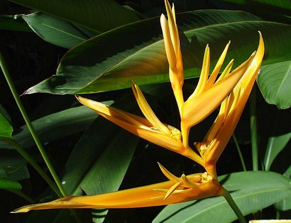 Flower Floret Fowl Paradise Heaven Bird Plant Vege