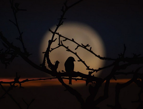 Bird Fowl Twilight Moon Shadow Evening Branches Tw