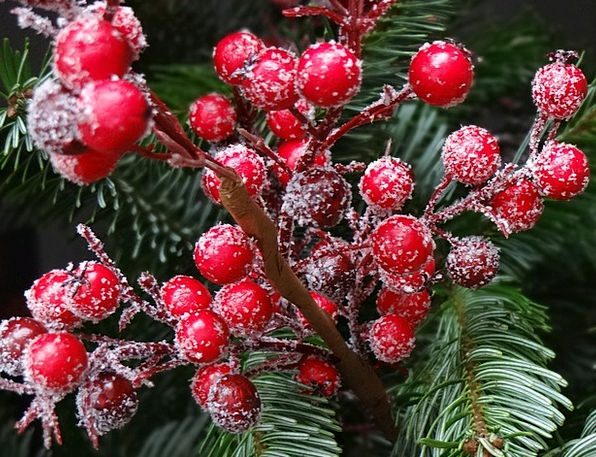 Red Christmas Berries Usually Fir Traditionally Ch