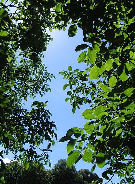 Walnut Sapling Canopy Awning Tree Sky Blue Leaves