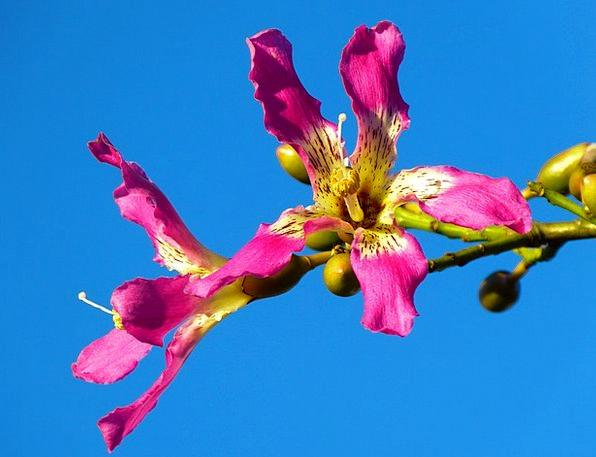 Kapok Tree Pochote Ceiba Pentandra Flower Floret P