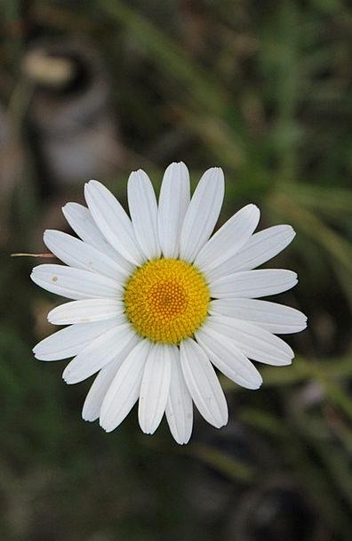 White flower landscapes nature chrysanthemum white flowers white flower landscapes nature chrysanthemum white mightylinksfo