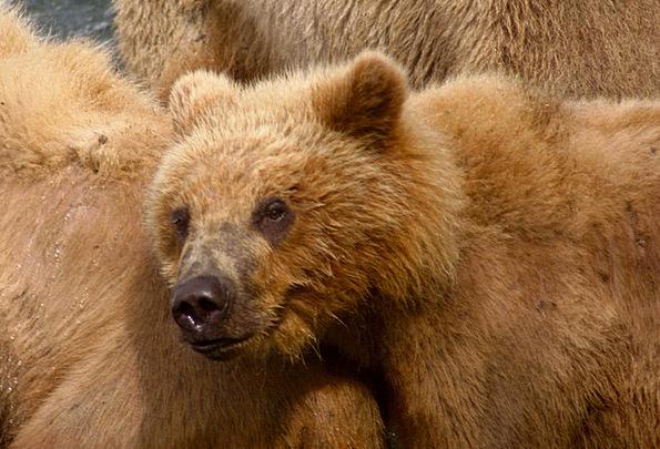 Kodiak Bear Tolerate Predator Marauder Bear Animal