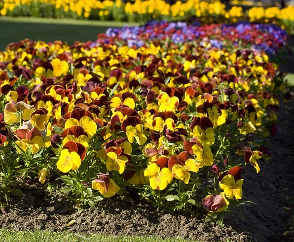 Pansy Floret Flowers Plants Flower Bed Divan Flowe