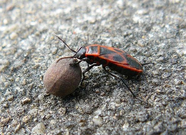 Beetle Seed Kernel Linden Insect Bug Entomology Fa