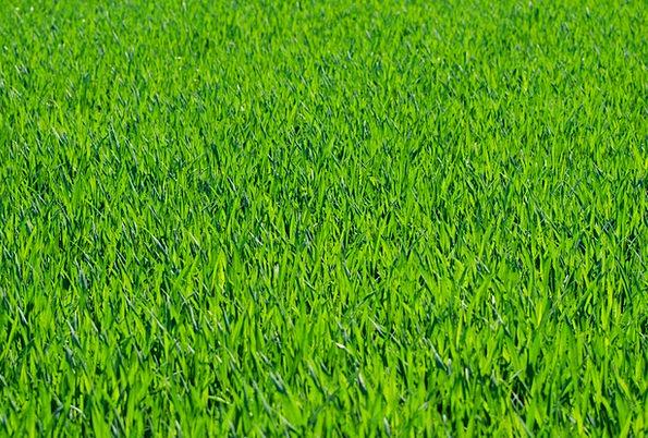 Grass Lawn Textures Backgrounds Stalks Stubbles Gr
