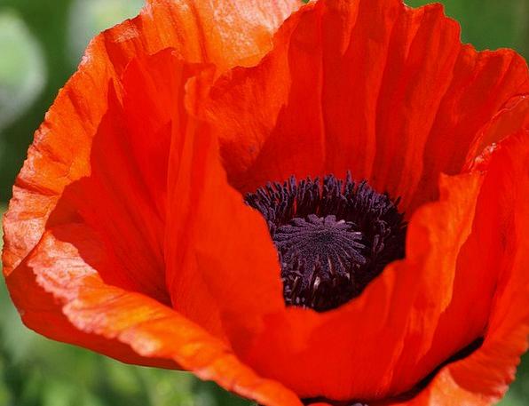 Poppy Flower Floret Klatschmohn Red Poppy Boll Cal