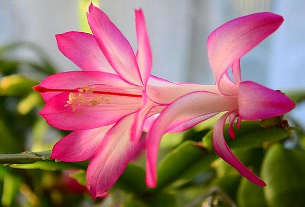 Christmas Cactus Landscapes Nature House Cactus Ea