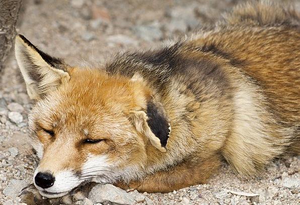 Fox Deceive Creature Animal Physical Mammal Nature