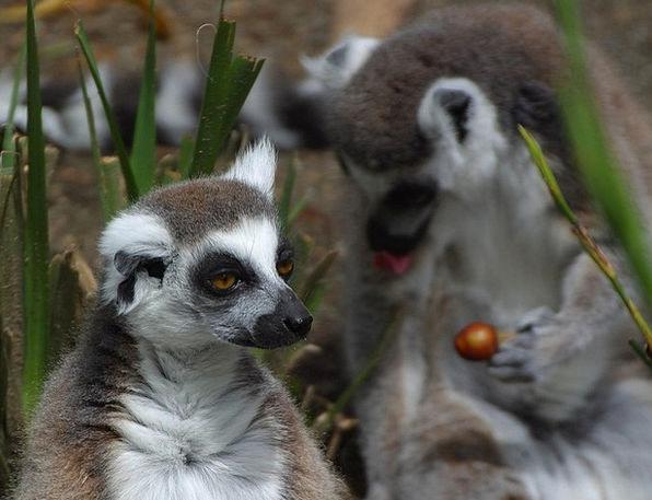 Lemurs Lemur Catta Lemur Monkey Primates Archbisho