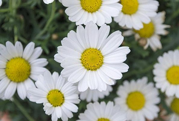 Daisy Landscapes Floret Nature Meadow Field Flower