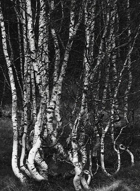 Birch Cane Landscapes Plants Nature Forest Woodlan