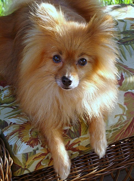 Amazing German Spitz Canine Adorable Dog - Dog-Cute-Canine-Fur-Free-Image-Animal-Tiny-Pet-Mam-8535  Perfect Image Reference_41659  .jpg