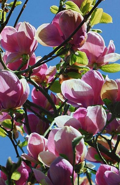 Magnolia Tree Floret Magnolia Flowers Flower Trees