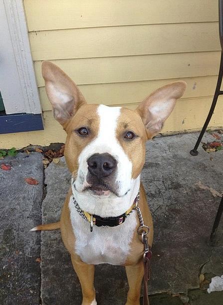 Dog Canine Animal Physical Pit Bull Ears Auricles