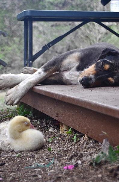 Dog Canine Goose Gosling Geese Friends Sleeping Ne