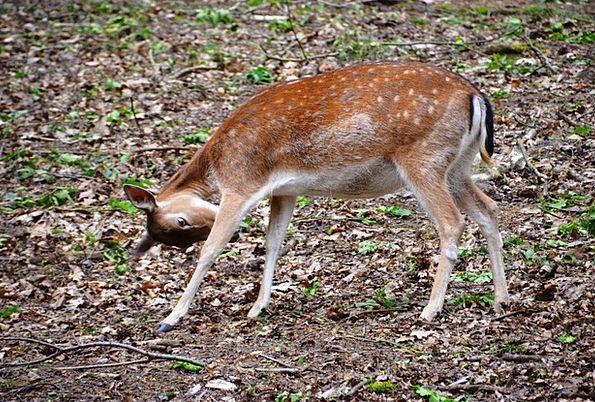 Roe Deer Landscapes Woodland Nature Animal Physica