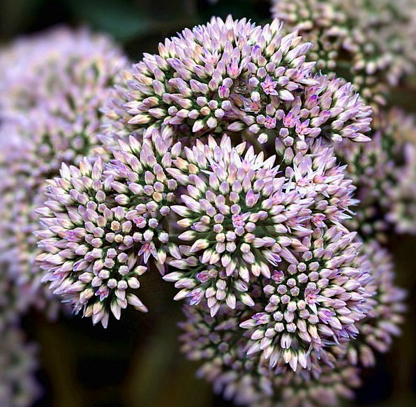 Sedum Landscapes Plants Nature Fresh New Flowers G