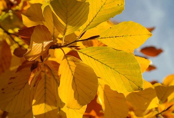 Beech Leaves Yellow Creamy Fall Color Red Book Yel