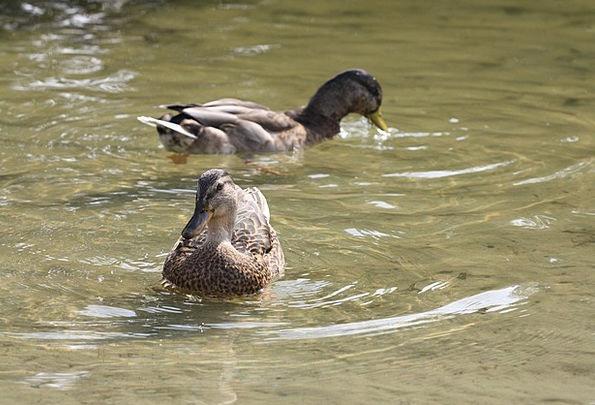 Duck Stoop Cross Bird Fowl Hybrid Para Pond Pool
